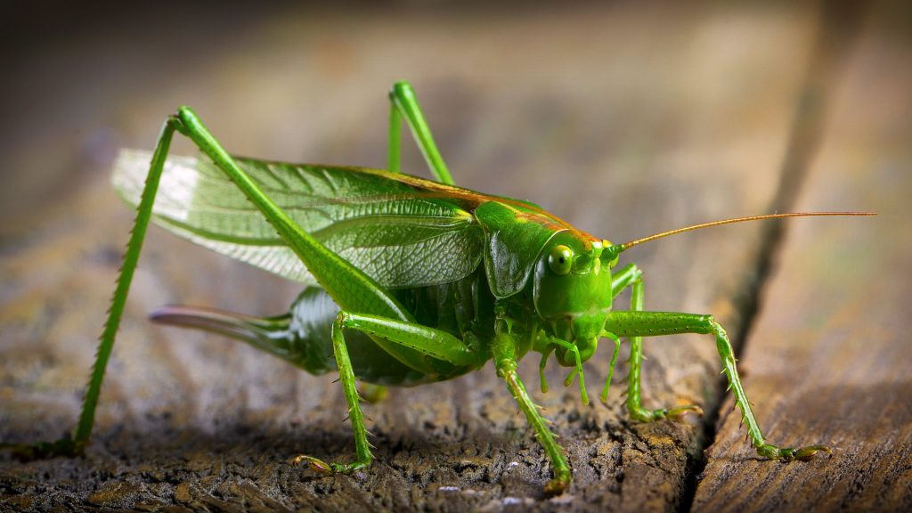 Crickets is one of NV worst pest