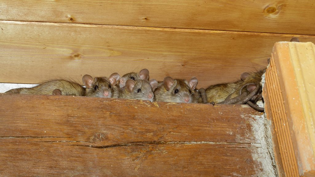 #10 on Nevada worst pests - Rodents